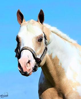precision-horse-training-Midasized-head.