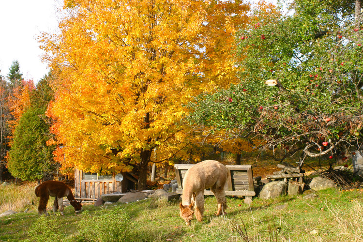 Alpaca-4.jpg