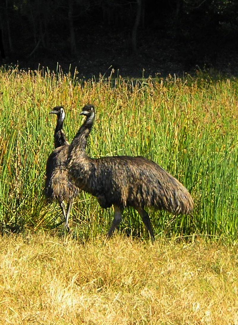 Emus in Lagoon
