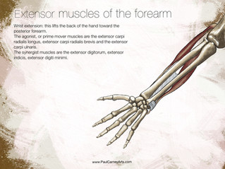 Flexor and extensor muscles of the hand