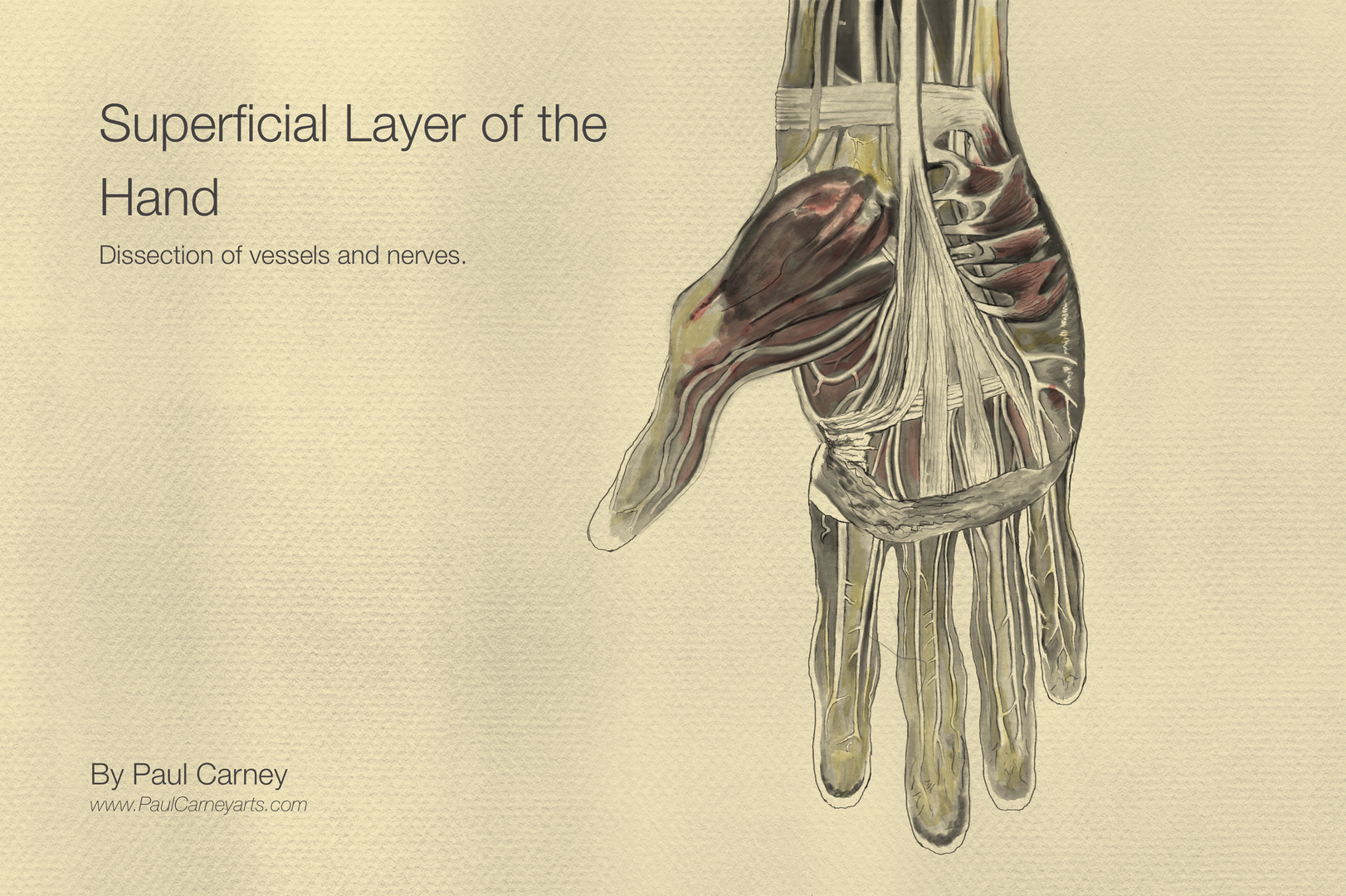 superficial layer of the hand