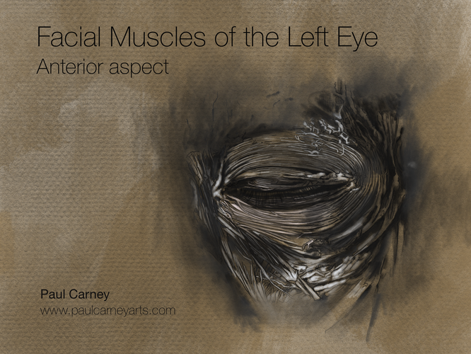 Facial Muscles of the eye