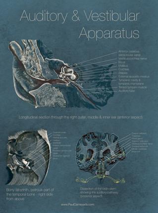 Auditory & Vestibular apparatus