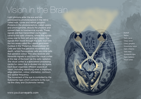 anatomy of the eye, vision in the brain