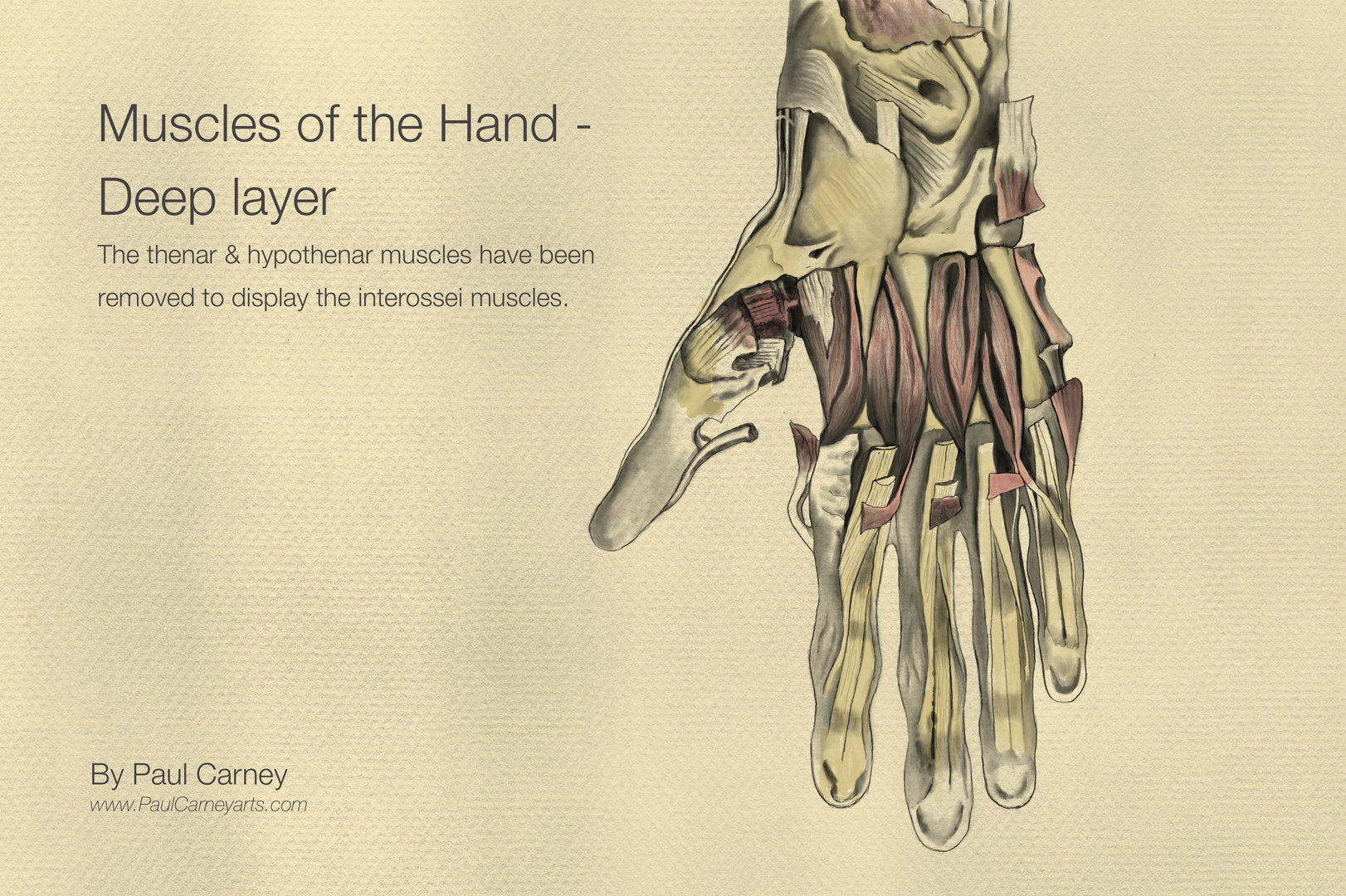 muscles of the hand deep layer