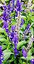 purple flw.jpg