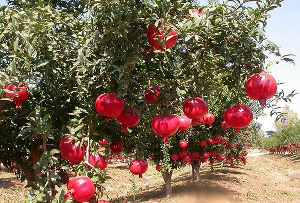 Pomegranate-Farming.jpg