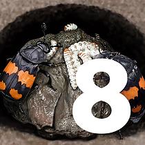 8 December - Burying Beetles tile.png