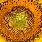 sunflower-94187_1920.jpg