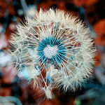 dandelion-3597681_1920.jpg