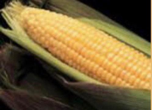 Corn, Sweet Kandy Corn