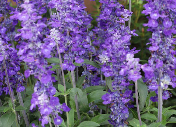 Salvia, Unplugged So Blue