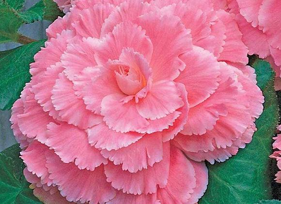 Begonia, AmeriHybrid Picotee Lace Pink