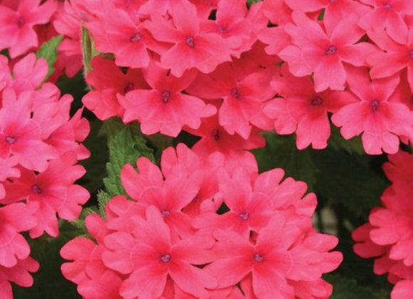 Verbena, Coral Red