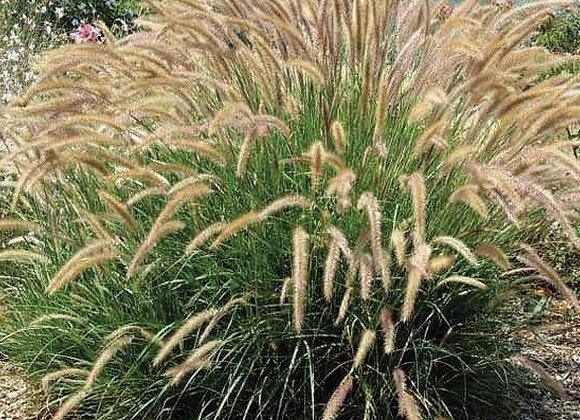 Grass, Pennisetum Fuzzy