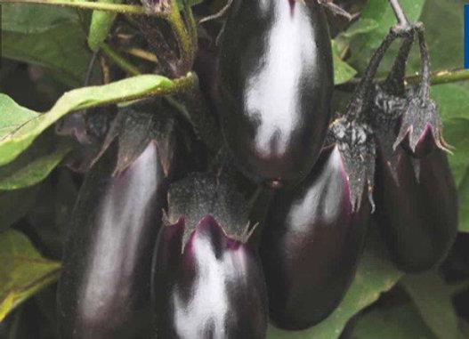Eggplant, Patio Baby