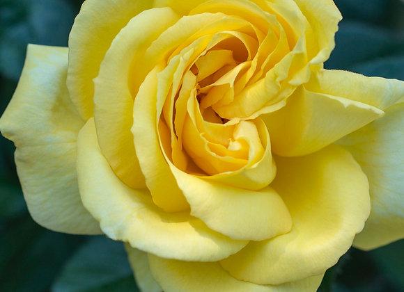 Rose, Eternal Flame