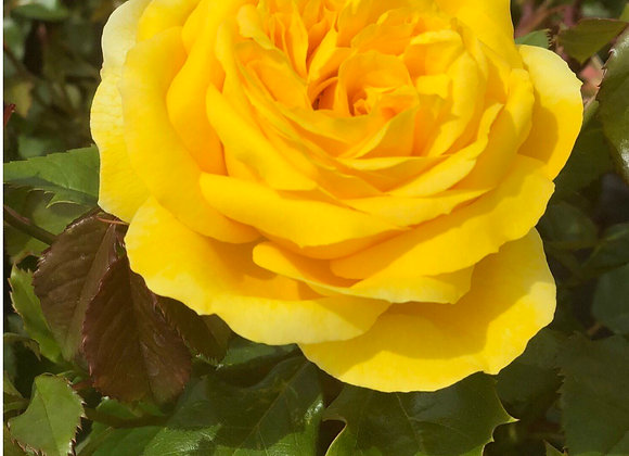 Rose, Sunbright