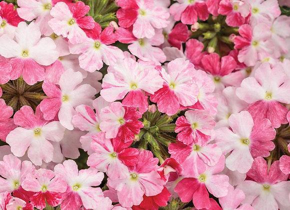 Verbena, Superbena Sparkling Rose