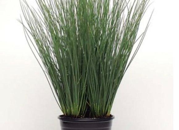 Grass, Juncus Blue Arrow
