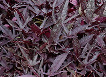 Sweet Potato Vine, Solar Power Black