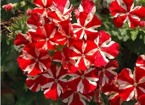 Verbena, Voodoo Red Star