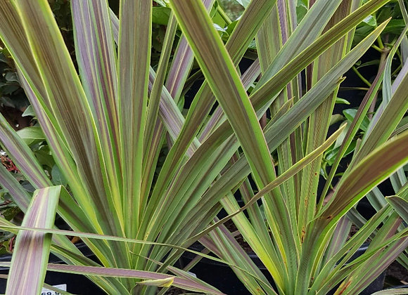 Cordyline, Chocolate Mint
