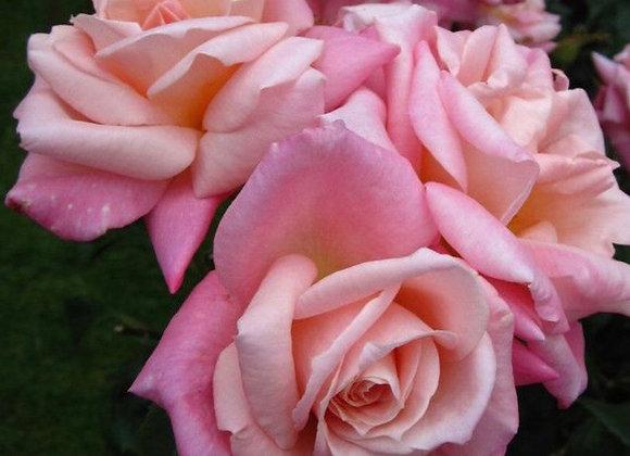 Rose, Pink Parfait