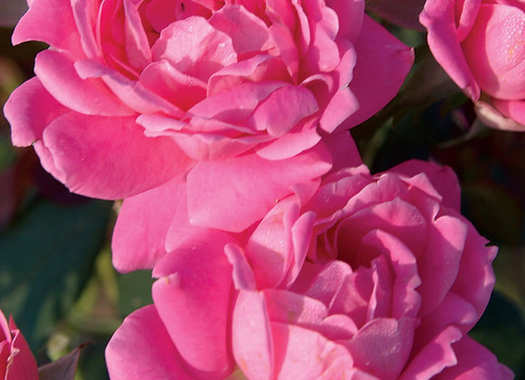 Rose, Pink Double Knockout