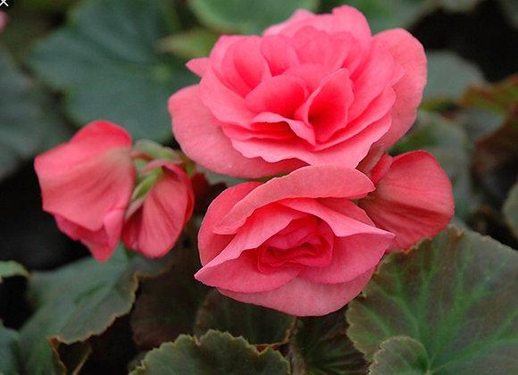 Begonia, Solenia Light Pink