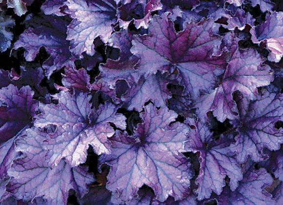 Heuchera, Forever Purple