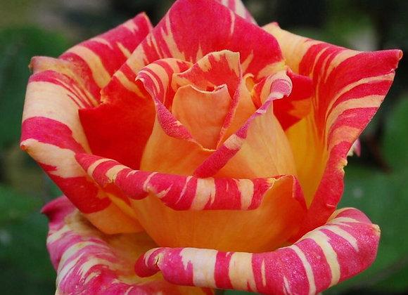 Rose, Caribia