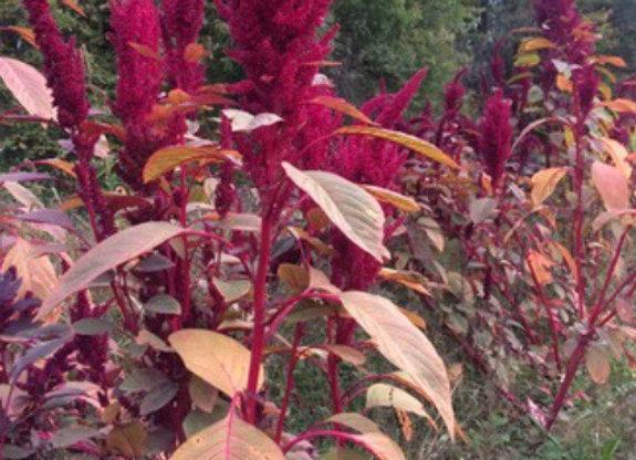 Amaranthus, Elena's Rojo