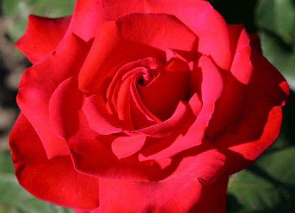 Rose, Grande Amore