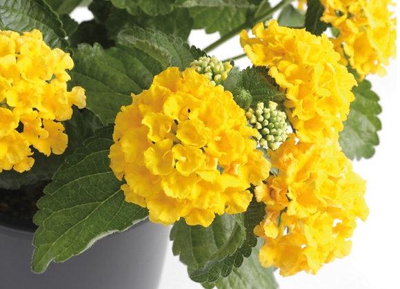Lantana, Bandana Yellow