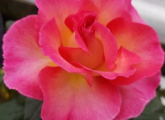 Rose, Julie Andrews