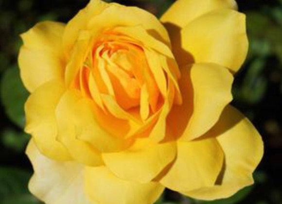 Rose, Gold Glow