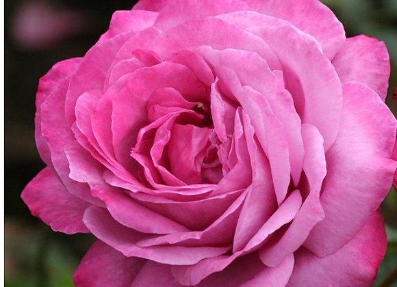 Rose, Heirloom