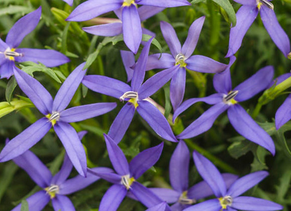 Isotoma, Beth's Blue