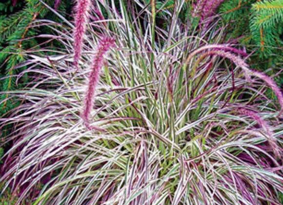 Grass, Fountain Grass Cherry Sparkler