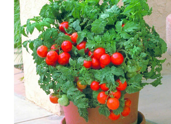Tomatoe, Patio Hybrid
