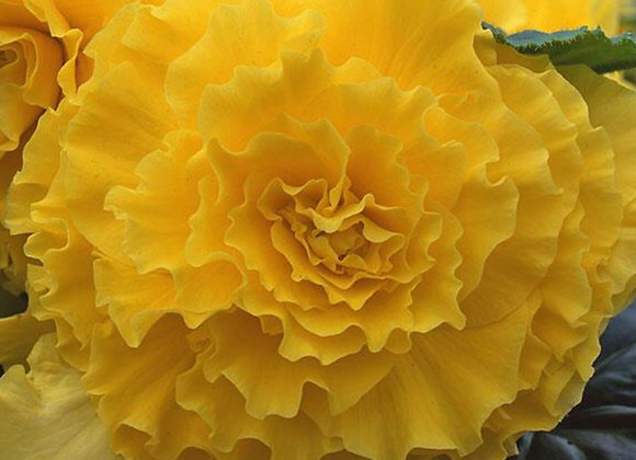 Begonia, AmeriHybrid Ruffled Yellow