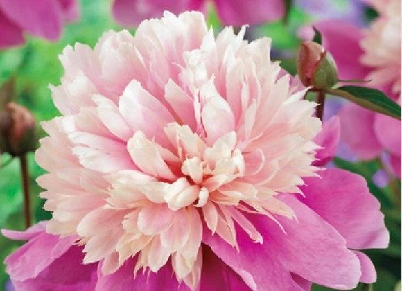 Peony, Pink Pompadour