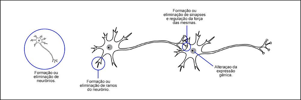 Ilustração sobre plasticidade neuronal com exemplos de modificações que podem ocorrer nos diferentes níveis estruturais: Formação ou eliminação de neurônios, formação ou eliminação de ramos de neurônio, formação ou eliminação de sinapses e regulação da força das mesmas, alteração da expressão gênica.