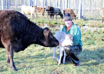 Murray Grey cow/calf with Mark holding calf