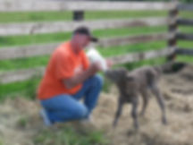 Mark bottle feeding Murray Grey calf