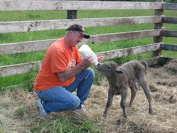 Mark bottle feeding Murray Grey calf