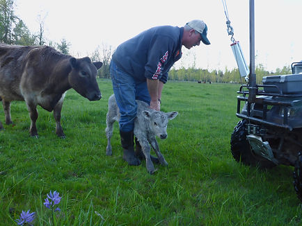 Mark using portable scale to weigh calf in pasture