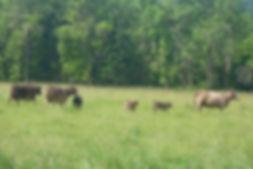 Murray Grey cattle grazing