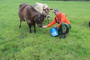 Mark hand feeding Murray Grey cattle